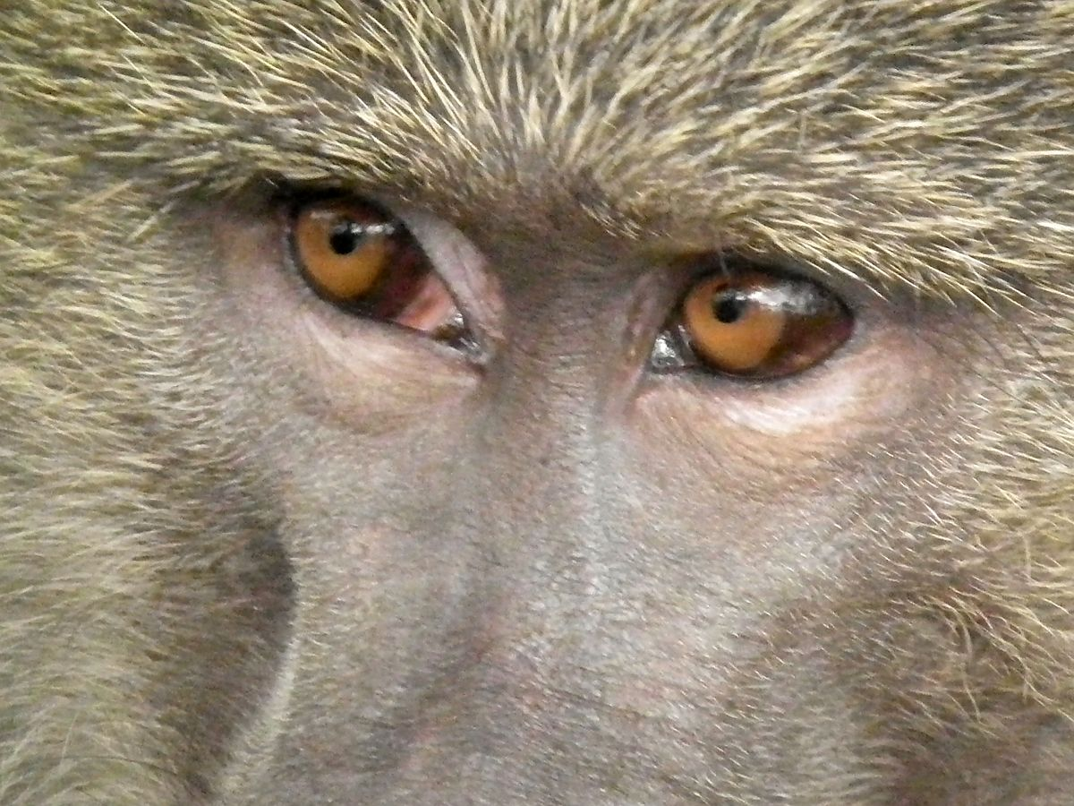 Evolution Of Color Vision In Primates Wikipedia