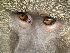 Evolution of color vision in primates - Baboon