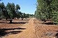 Olivi secolari - panoramio - Carlo Pelagalli.jpg