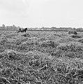 Ontginning, grondbewerking, egaliseren, bezanden, ruilverkavelingen, arbeiders, , Bestanddeelnr 159-0785.jpg