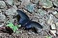 Open Wing Position Of Papilio memnon, Great Mormon - Buxa.jpg