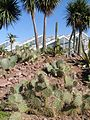 Opuntia humifusa2.jpg