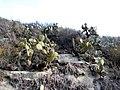 Opuntia oricola - Aliso Viejo, CA.jpg