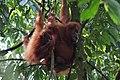 Orang Utan Sumatra.jpg