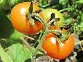 Orange tomato (6951843461).jpg