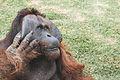 Orangutan in São Paulo Zoo 56.jpg