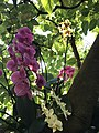 Orchid on a tree.jpg