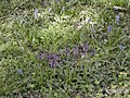 Orchids and bluebells - geograph.org.uk - 411983.jpg
