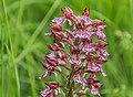 Orchis × hybrida 05.jpg