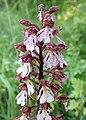 Orchis purpurea kz07.jpg