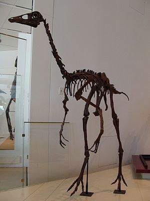 Ornithomimus - Mounted O. edmontonicus skeleton, Royal Ontario Museum