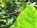 Orthetrum sabina - Green Marsh Hawk at Kottiyoor (3).jpg