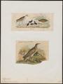 Ortygometra crex - 1700-1880 - Print - Iconographia Zoologica - Special Collections University of Amsterdam - UBA01 IZ17500087.tif