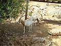 Oryx dammah in Jerusalem Biblical Zoo PikiWiki Israel 16660 Wildlife and Plants of Israel.jpg
