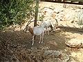 Oryx dammah in Jerusalem Biblical Zoo PikiWiki Israel 16660 Wildlife and Plants of Israel.jpg