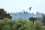 Ospreys - Rutland Water (29274957686).jpg