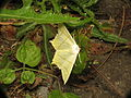 Ourapteryx sambucaria (14519173885).jpg