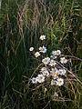 Oxeye Daisy (Leucanthemum vulgare) - Guelph 01.jpg