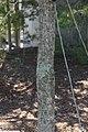 Oxydendrum arboreum 15zz.jpg