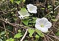 Pōuwhiwhi (Calystegia tuguriorum).jpg