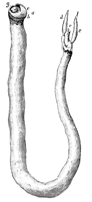 Shipworms - Teredo navalis from Popular Science Monthly, September 1878