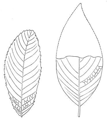 PSM V23 D656 Carpinus betuloides and persea.jpg