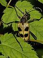 Pachyta quadrimaculata (Cerambycidae) (7563829902).jpg