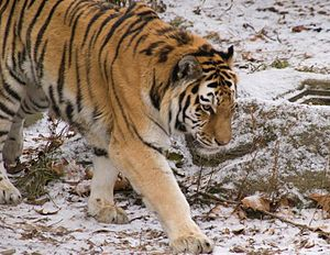 A Siberan tiger at the Cleveland Metroparks Zoo