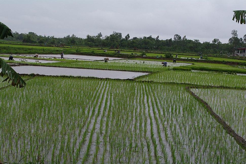 Paddy field, Vietnam