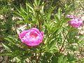 Paeonia Broteri.jpg