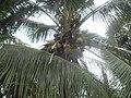 Palme u Kampotu.jpg
