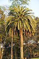 Palmeira-Parque da Ponte.JPG