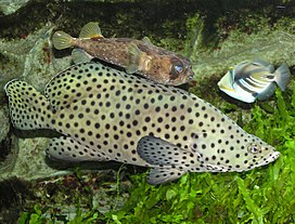 Panther.grouper.arp.jpg