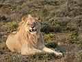 Panthera leoP1040182.JPG