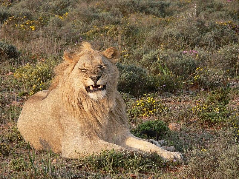 Panthera leoP1040182
