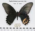 PapilioForbesiMUpUnAC1.jpg