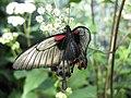 Papilio Memnon February 2009.JPG
