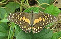 Papilio demoleus – Lime Swallowtail - Lime butterfly from Peravoor 03.jpg