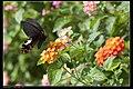 Papilio thaiwanus (15113715816).jpg