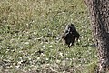 Papio anubis of Kenya 05.jpg