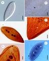 Parasite140015-fig2 Protoopalina pingi (Opalinidae) Microscopy.tif