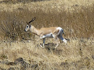 Soemmerrings gazelle species of mammal