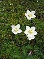 Parnassia palustris Dachstein.jpg