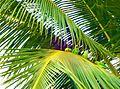 Parrots on coconut tree 01.jpg
