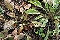 Parthenium integrifolium 7zz.jpg
