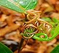 Passiflora Tendrils 01.jpg