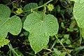 Passiflora foetida 6616.jpg