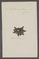 Patella saccharina - - Print - Iconographia Zoologica - Special Collections University of Amsterdam - UBAINV0274 081 08 0010.tif