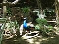 Peacock (2).jpg