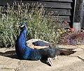 Peacock (27866091402).jpg